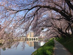 Sakura311