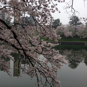 Sakura012